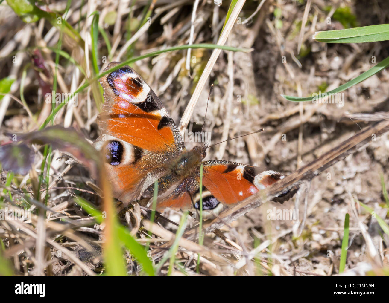 European Peacock Butterfly (Aglais io) on the ground in Spring in West Sussex, UK. - Stock Image