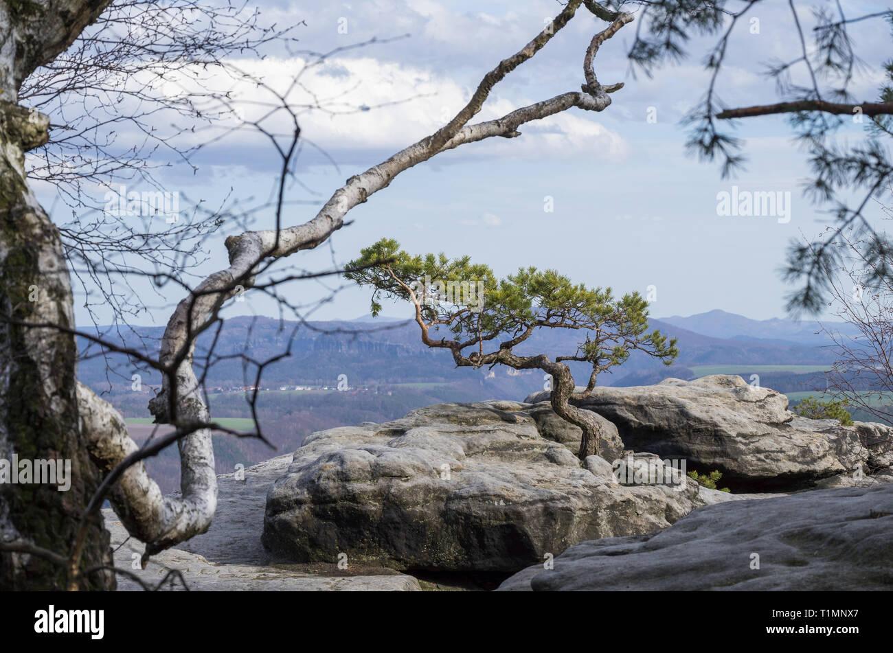 Wetterkiefer auf dem Lilienstein - Weather Pine - Bonsai - Stock Image