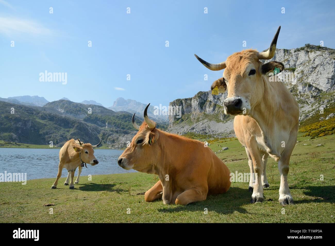 Asturian mountain cattle (Bos taurus) standing on pastureland around Lake Ercina, Lakes of Covadonga, Picos de Europa, Asturias, Spain, August. - Stock Image