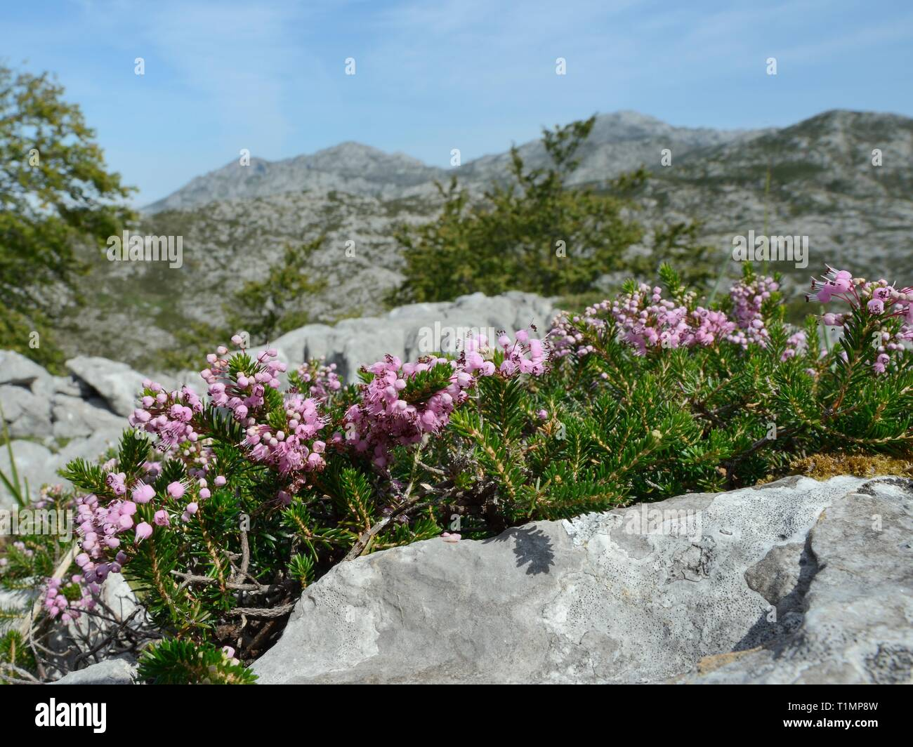 Cornish heath (Erica vagans) clump flowering among limestone rocks on montane pastureland, Picos de Europa, Asturias, Spain. - Stock Image