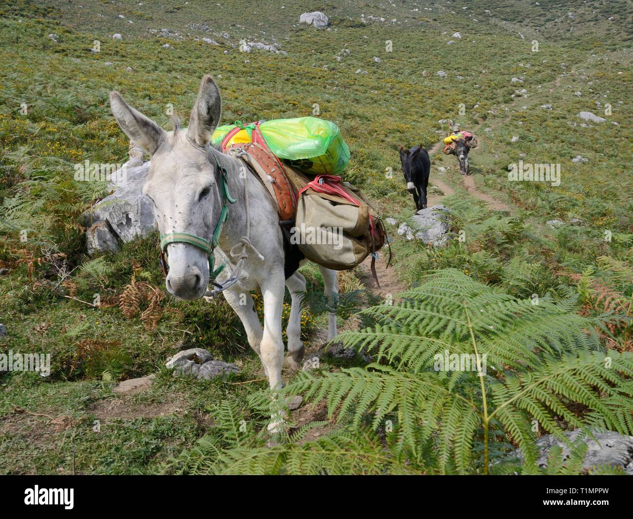 Pack mules carrying loads up a mountain path above the Lakes of Covadonga, to resupply a mountain refuge hut, Asturias, Spain, August. - Stock Image