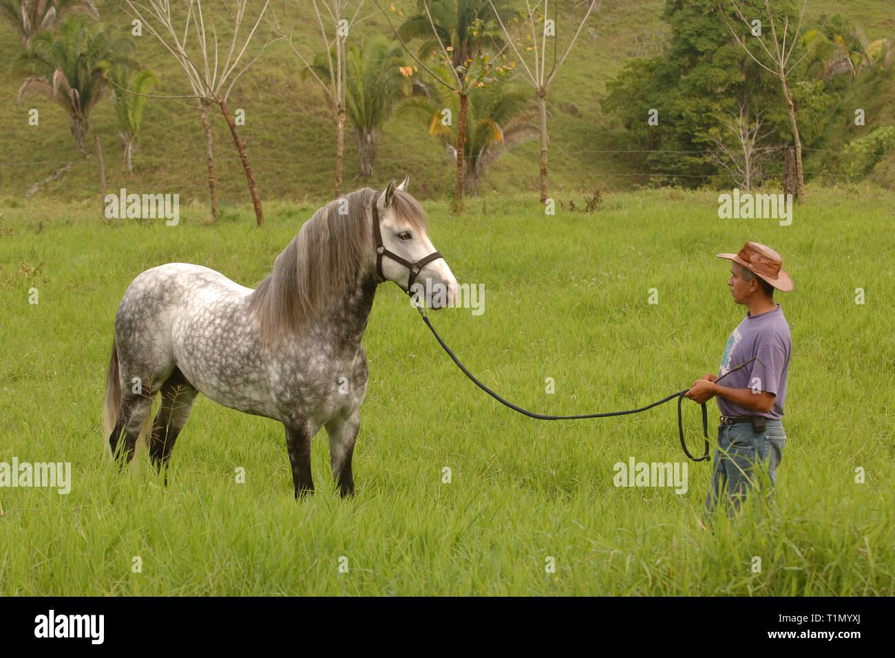 Man drills a Criollo horse, Stud farm, Guanacaste, Costa Rica Stock Photo
