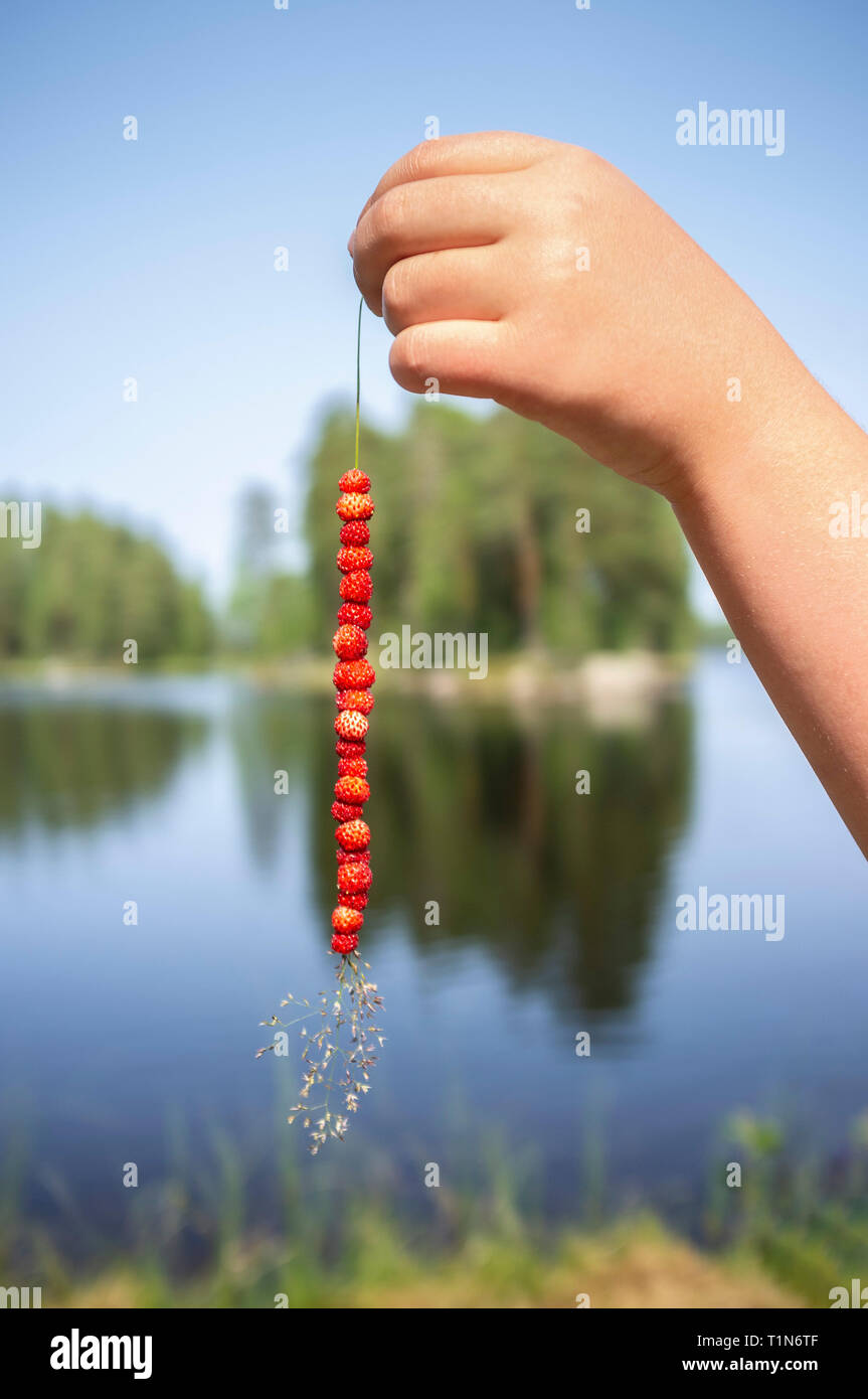 Hand of a child holding a straw with wild strawberries, Dalarna / Dalecarlia, Sweden, Scandinavia. - Stock Image