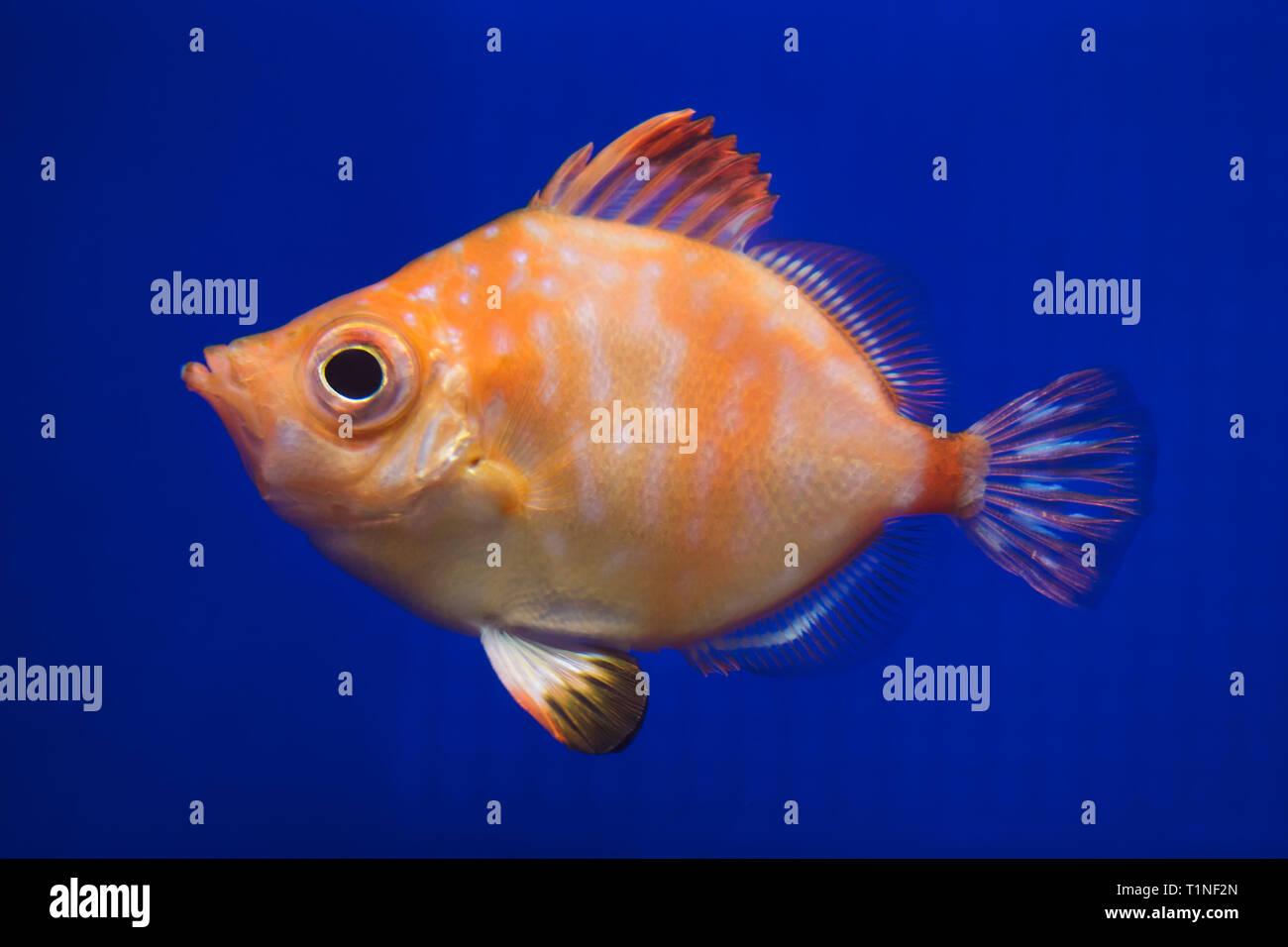 Boarfish (Capros aper). Marine fish. Stock Photo