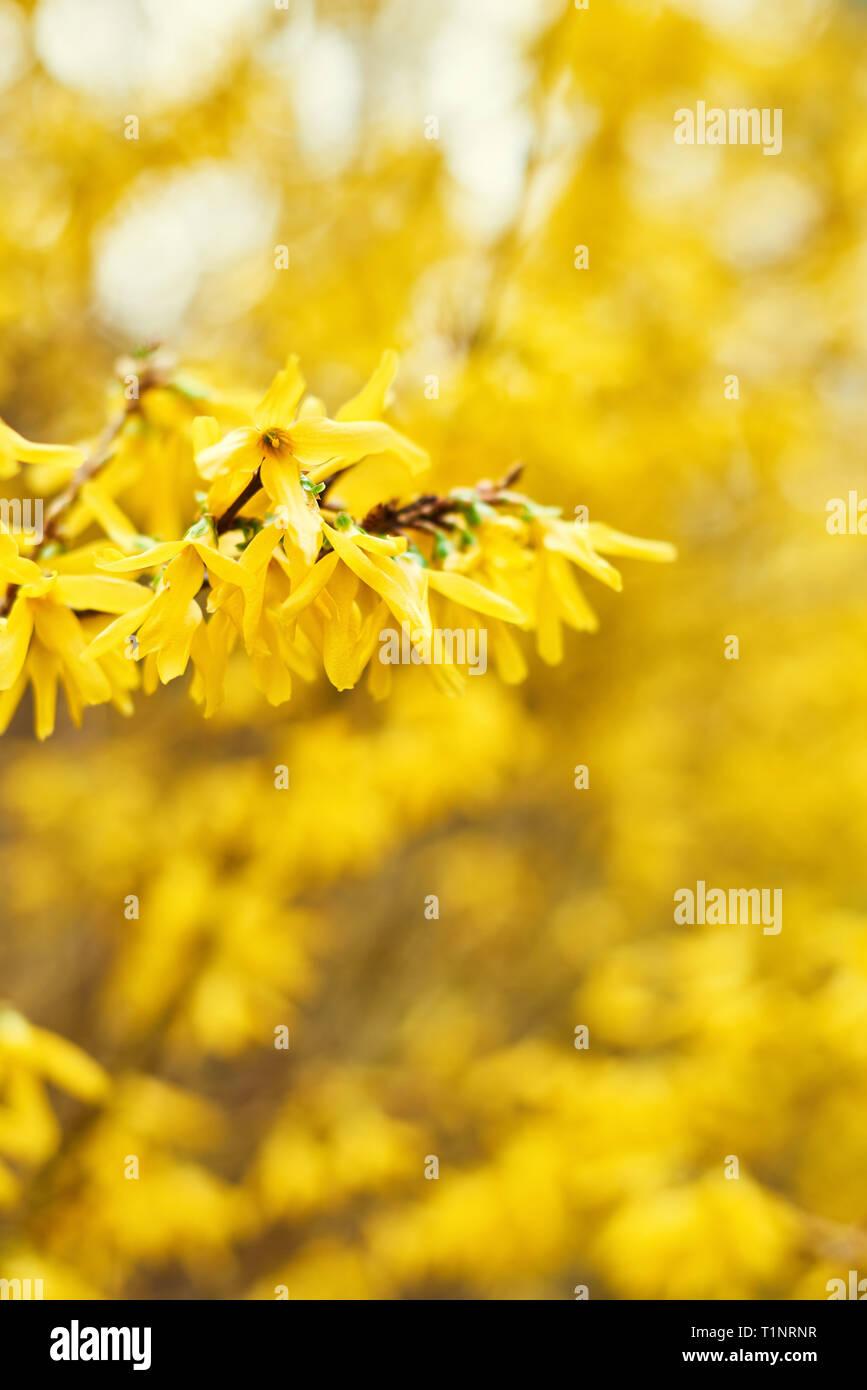 Early Blooming Yellow Forsythia Flowers Forsythia X Intermedia