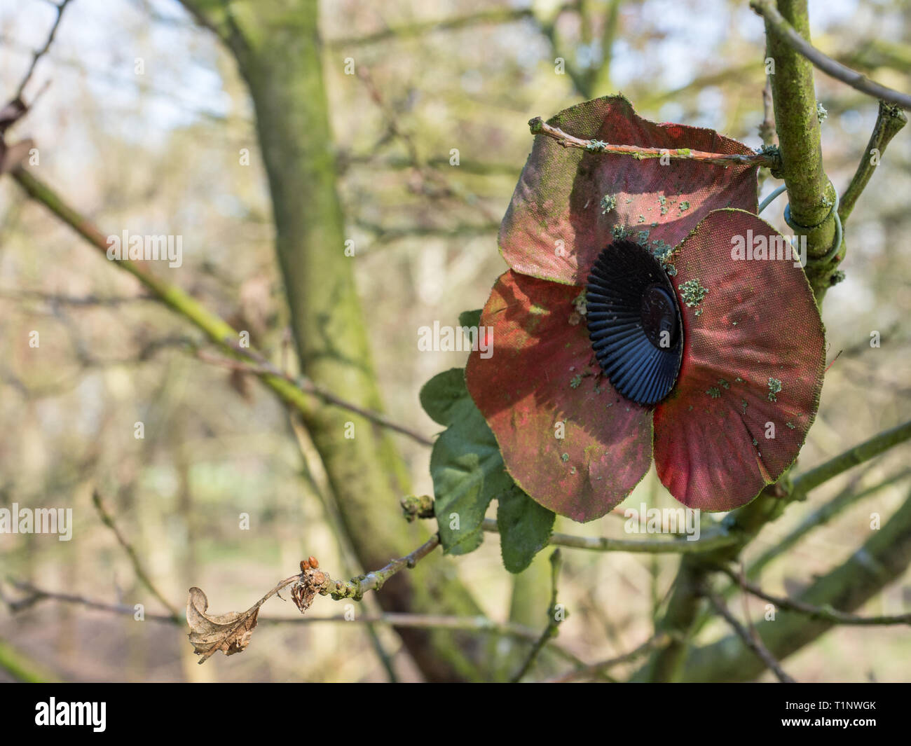 a single one isolated false artificial fabric paper old worn out faded weathered remembrance symbol commemorating poppy pin badge broach pinned branch - Stock Image