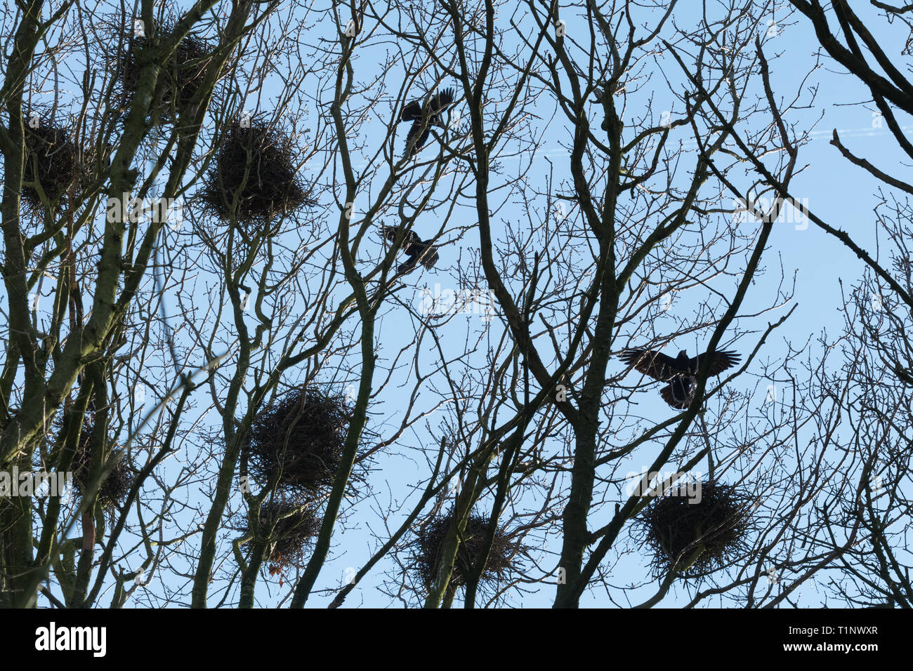 A rookery in the tops of trees during spring with rooks (Corvus frugilegus) flying around their nests. Bird colony in Hampshire, UK. - Stock Image