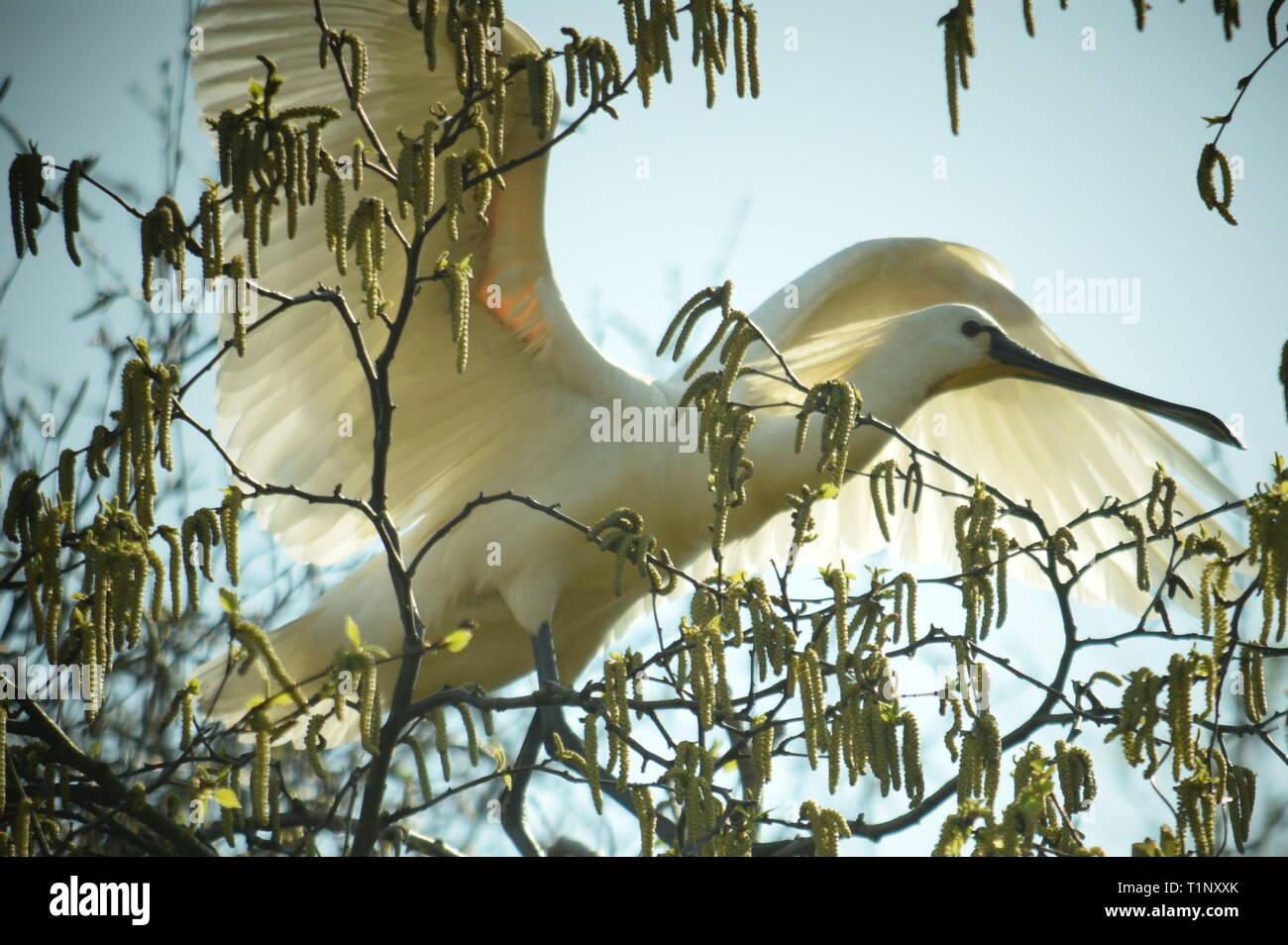 spoonbill in tree near haarlem,netherlands 2017 - Stock Image