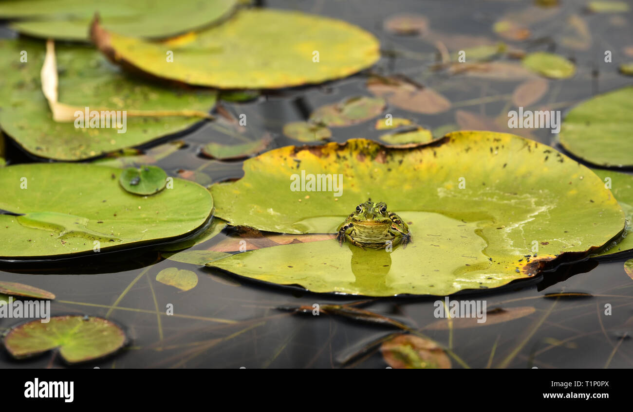 The edible frog (Pelophylax kl. esculentus)  - common European frog sitting on a leaf in the pond. - Stock Image