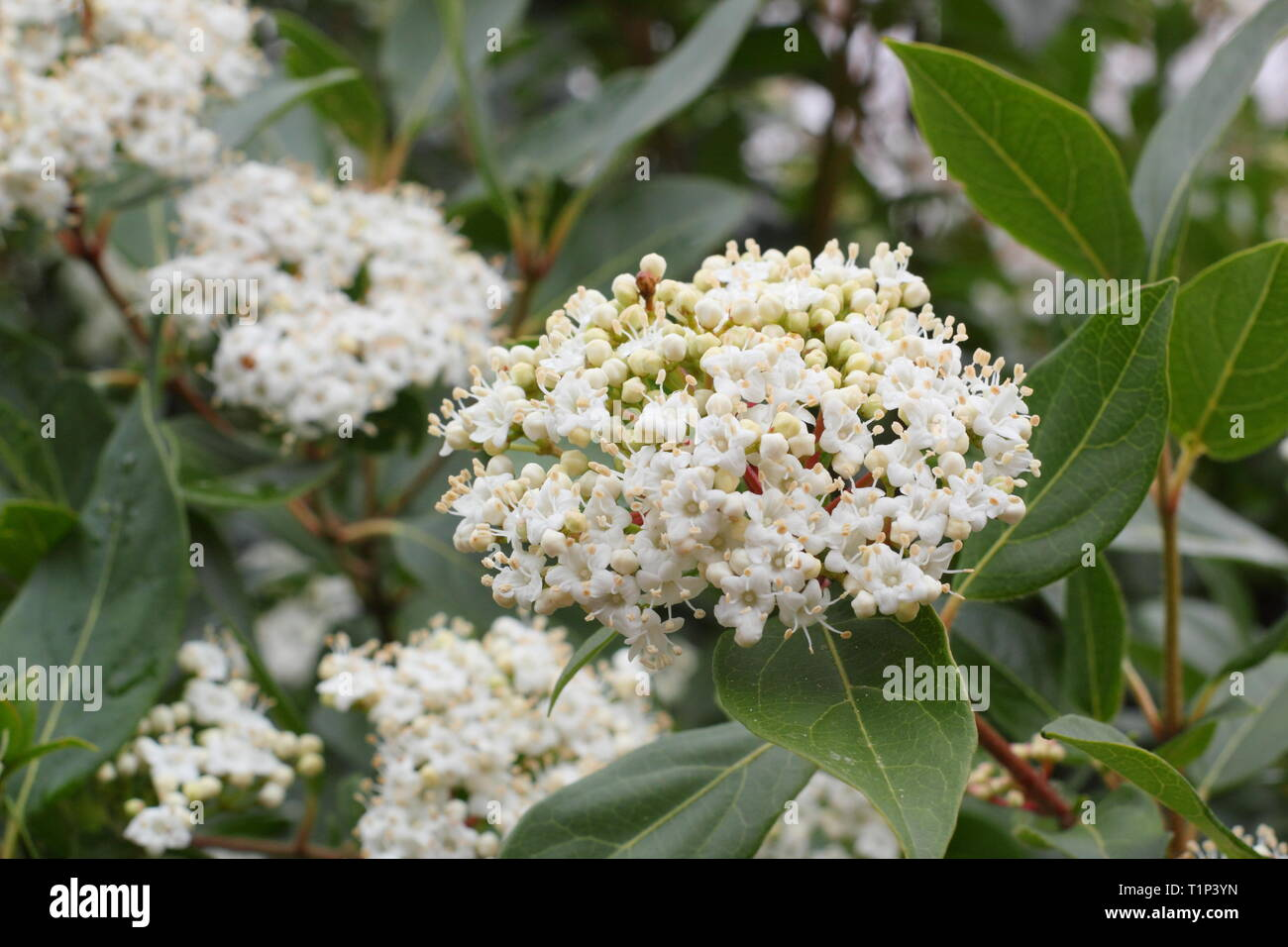 Viburnum tinus 'French White'. Clusters of flowers on wiinter flowering Viburnum 'French White' Februar'y, UK. AGM - Stock Image