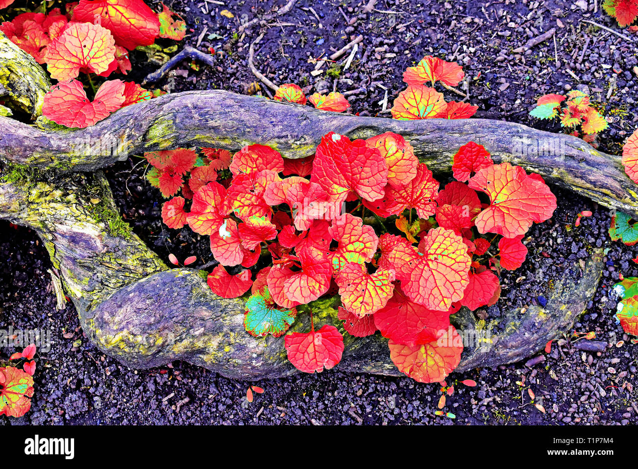 Red and yellow autumn leaves growing amid rotten logs in the woods - Stock Image