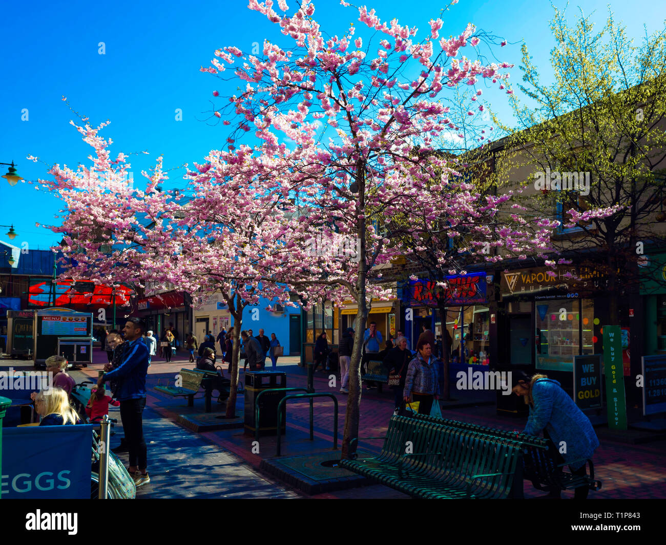 Gilkes street in Middlesbrough town centre with cherry blossom flowering in spring Stock Photo