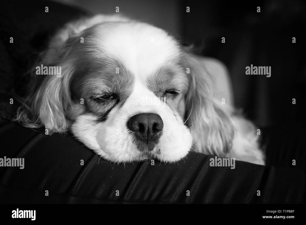 Cavalier king charles almost sleeping - Stock Image