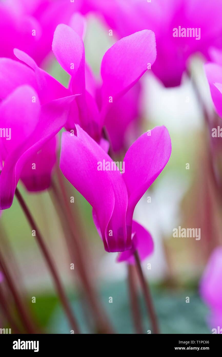Cyclamen persicum var. persicum f. puniceum 'Tilebarn Karpathos' flowers Stock Photo