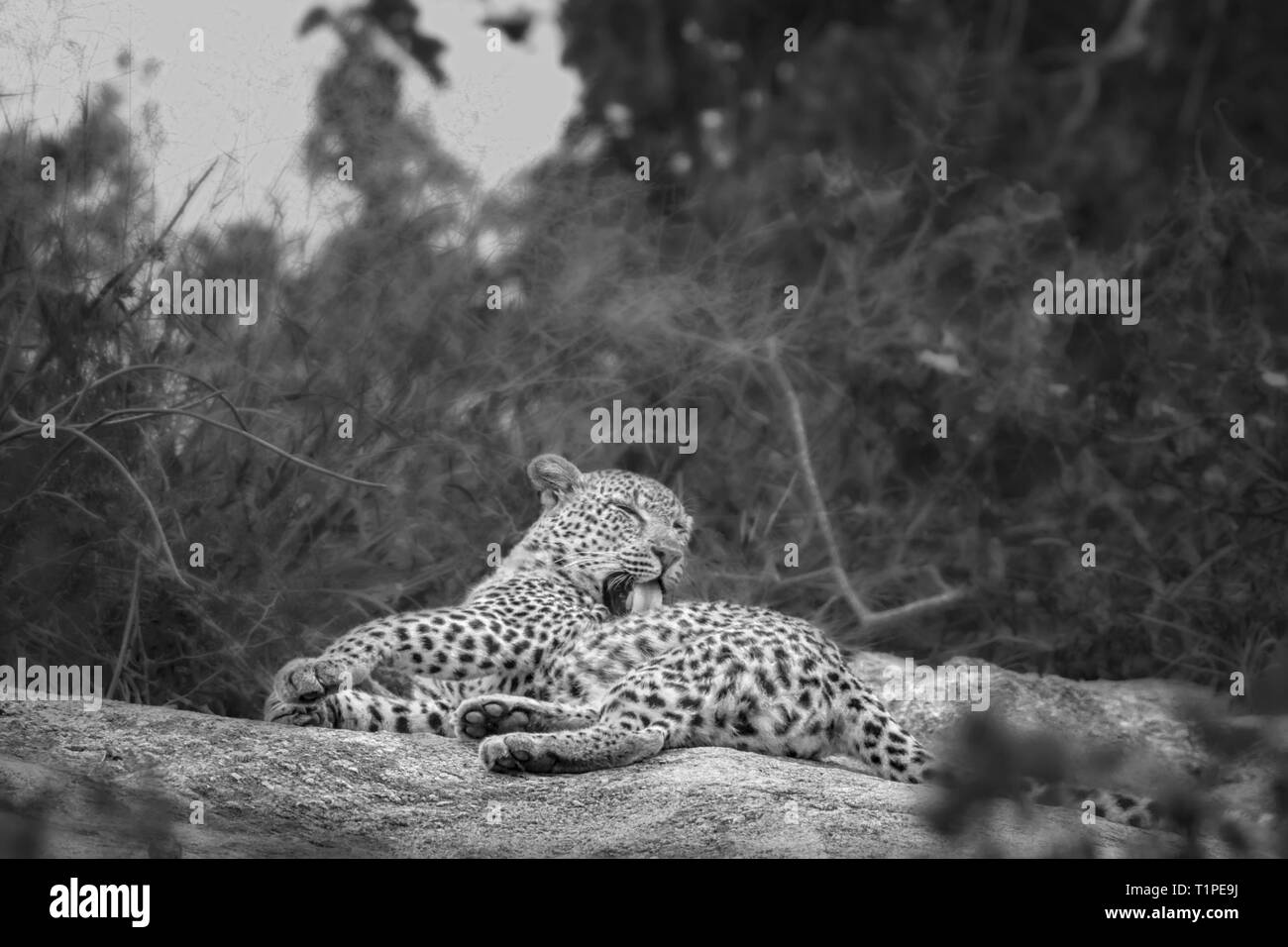 Leopard grooming and licking in Kruger National park, South Africa ; Specie Panthera pardus family of Felidae - Stock Image