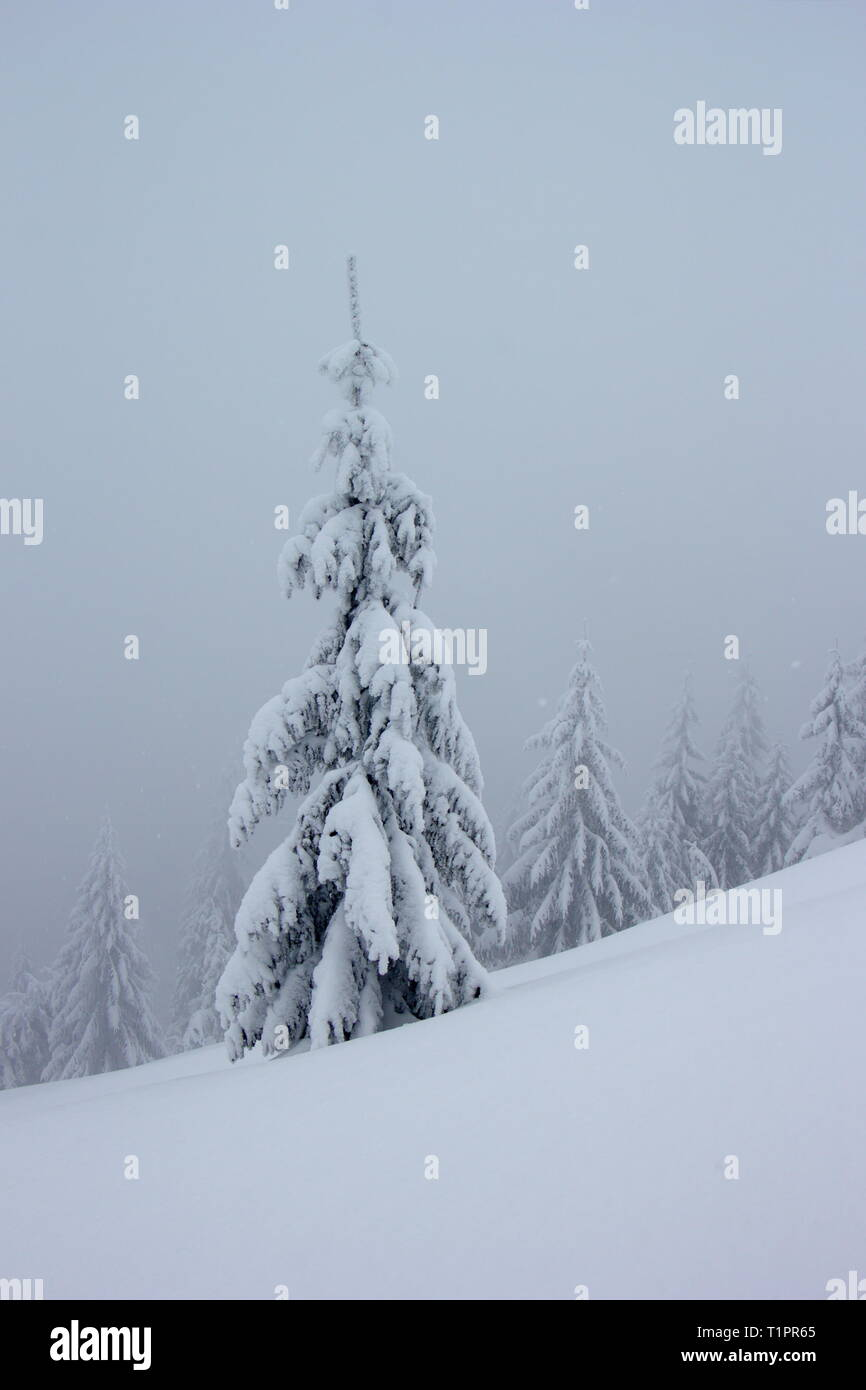 old snowy spruces on misty winter day - Stock Image