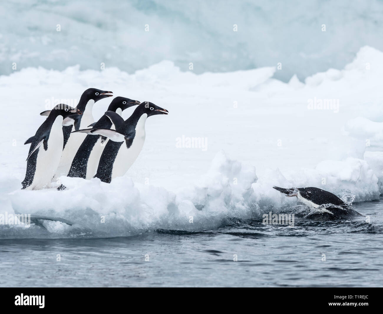 Adelie penguins (Pygoscelis adeliae) leaping into the sea from ice at Brown Bluff, Antarctic Sound, Antarctica - Stock Image