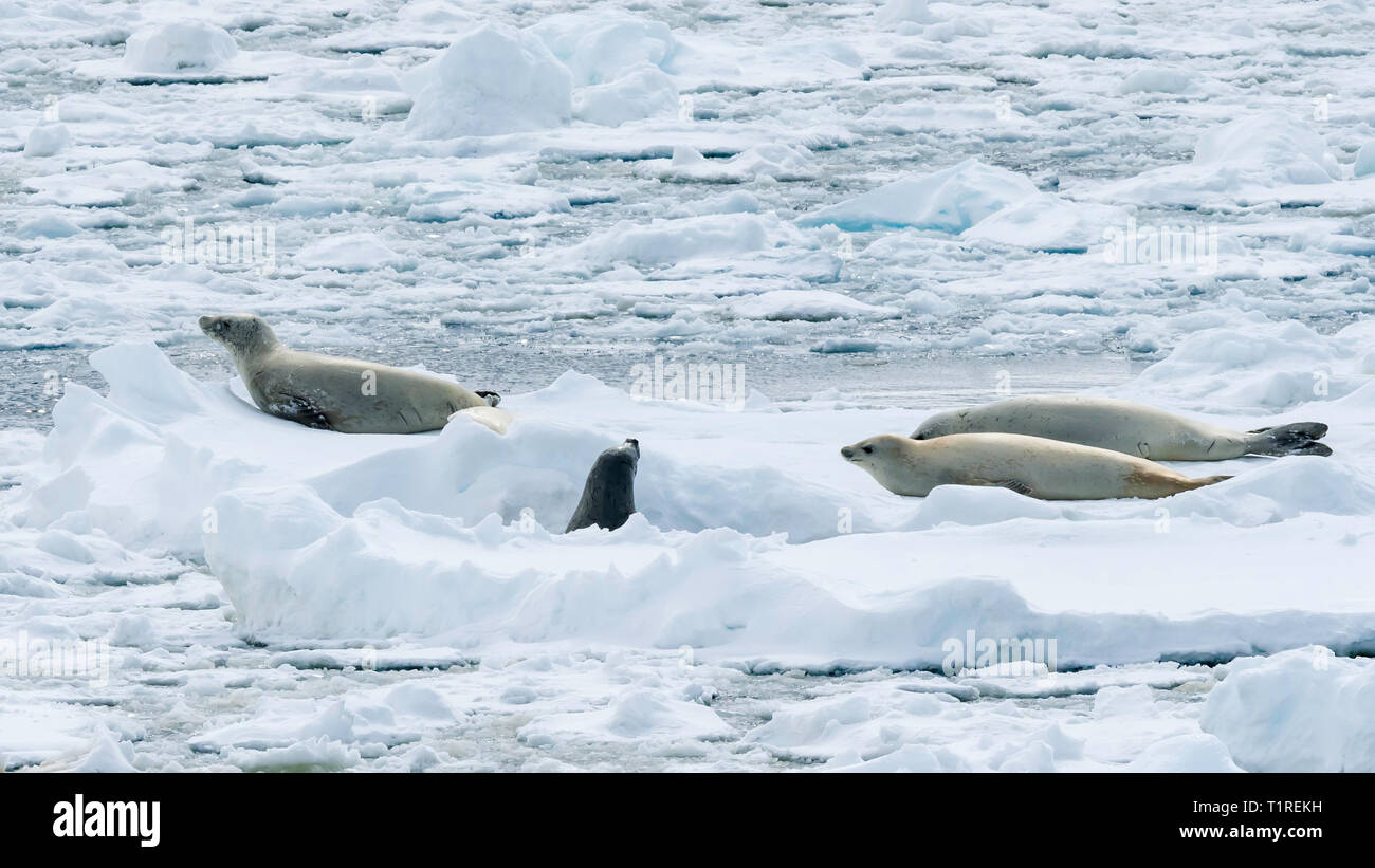 Crabeater seals (Lobodon carcinophaga), on sea ice, Lemaire Channel, Antarctica Stock Photo