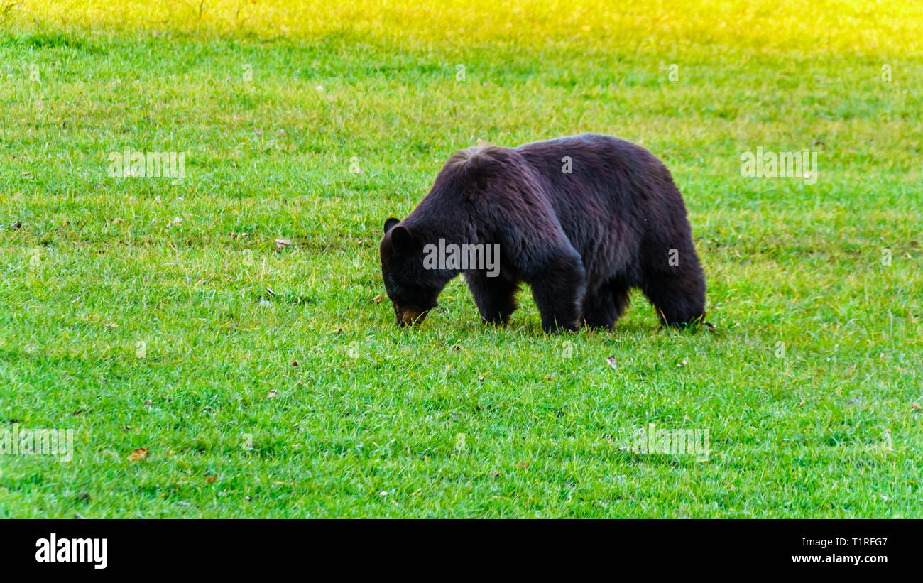 Black Bears with a thick fur feeding in a field in early winter prior to going into hibernation in Wells Grey Provincial Park in B,C., Canada - Stock Image