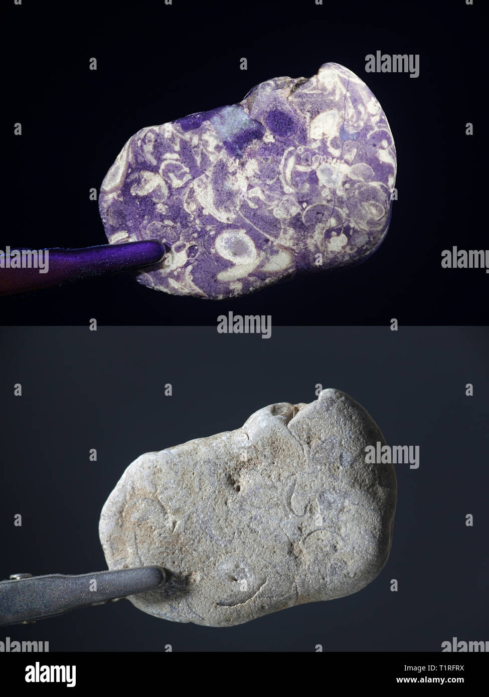 Fluorescent fossils photographed in ultraviolet light (365 nm).  Lower image showing same sample in normal daylight. Stock Photo