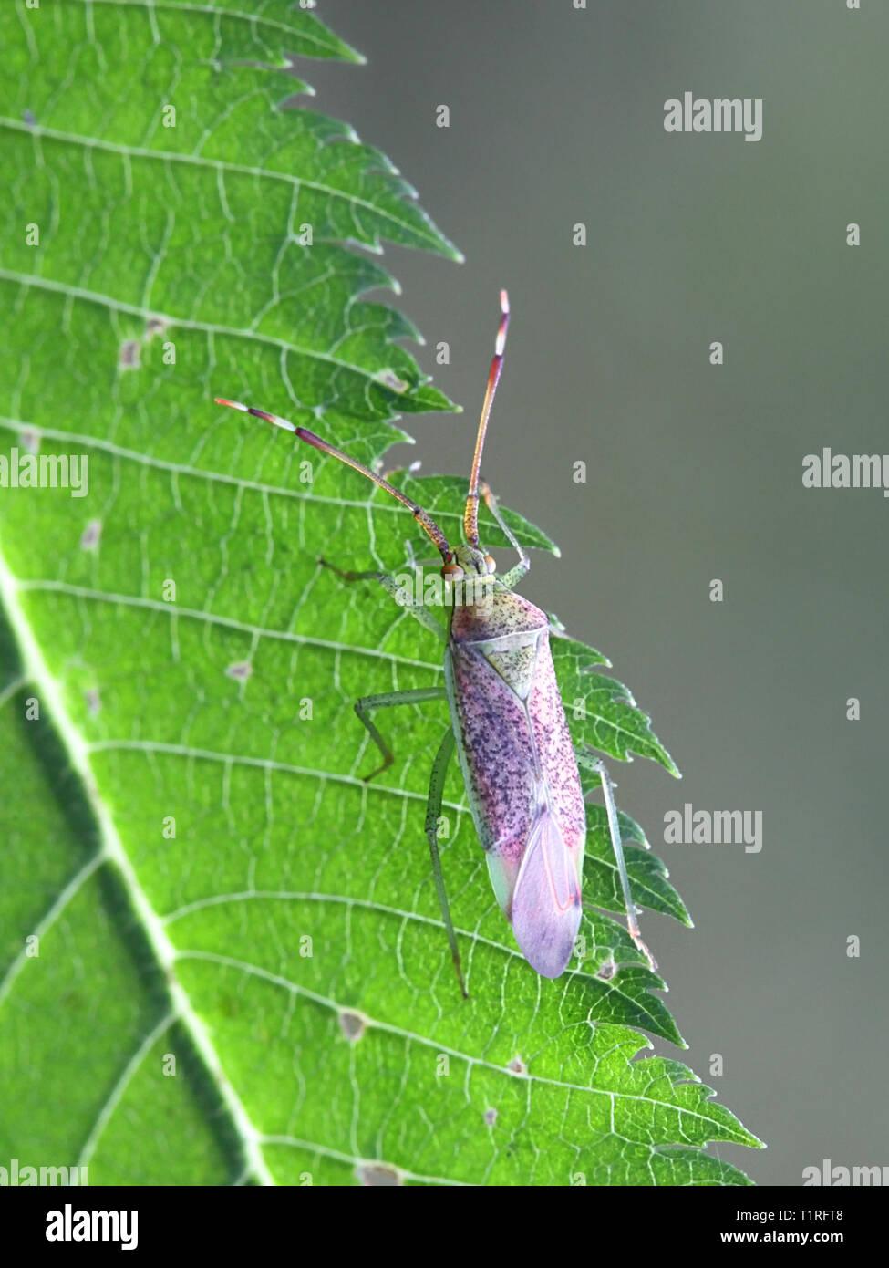 Capsid or mirid bug, Pantilius tunicatus - Stock Image
