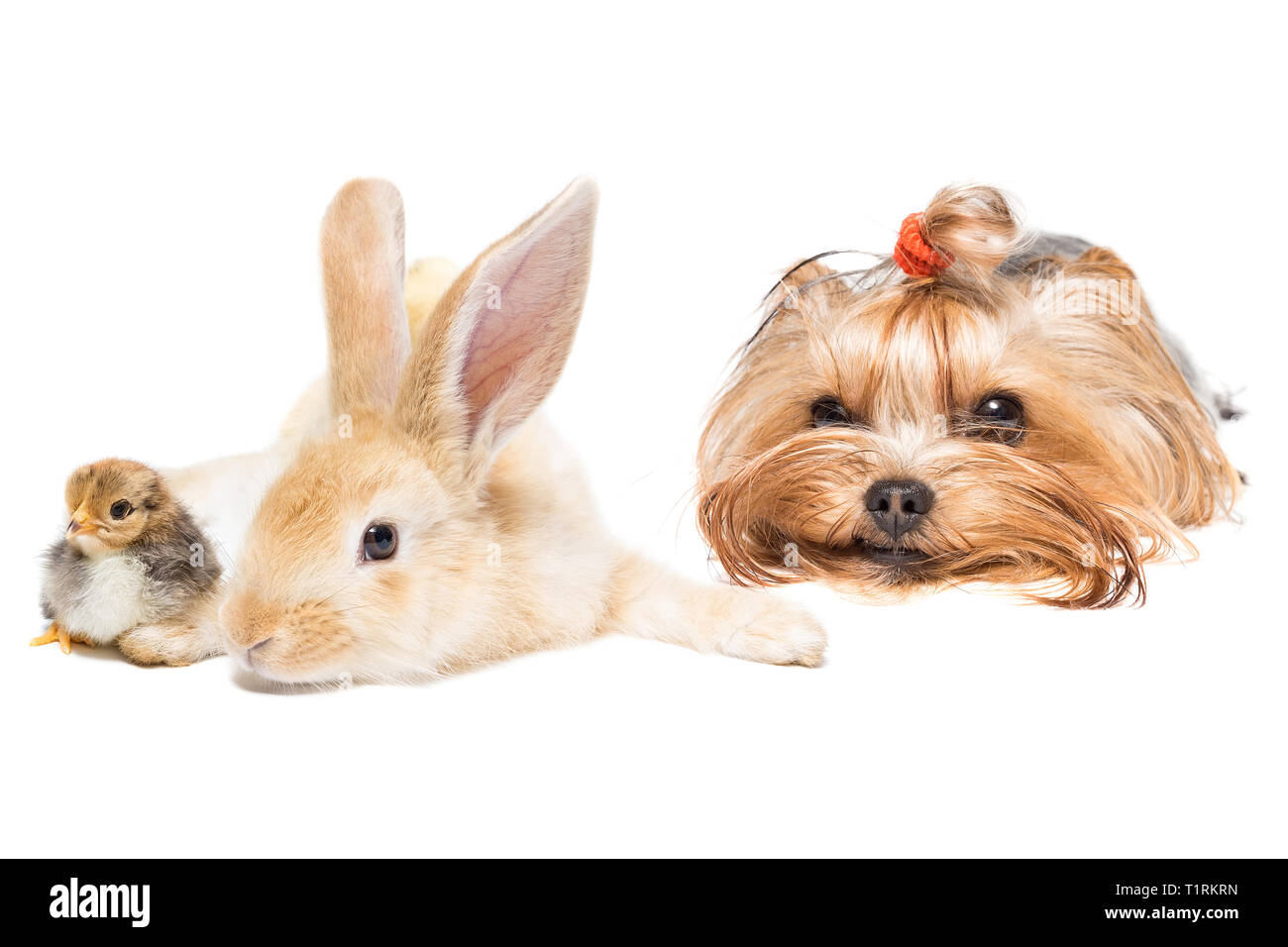 Dog breed yorkshire terrier rabbit and chicken on white background - Stock Image