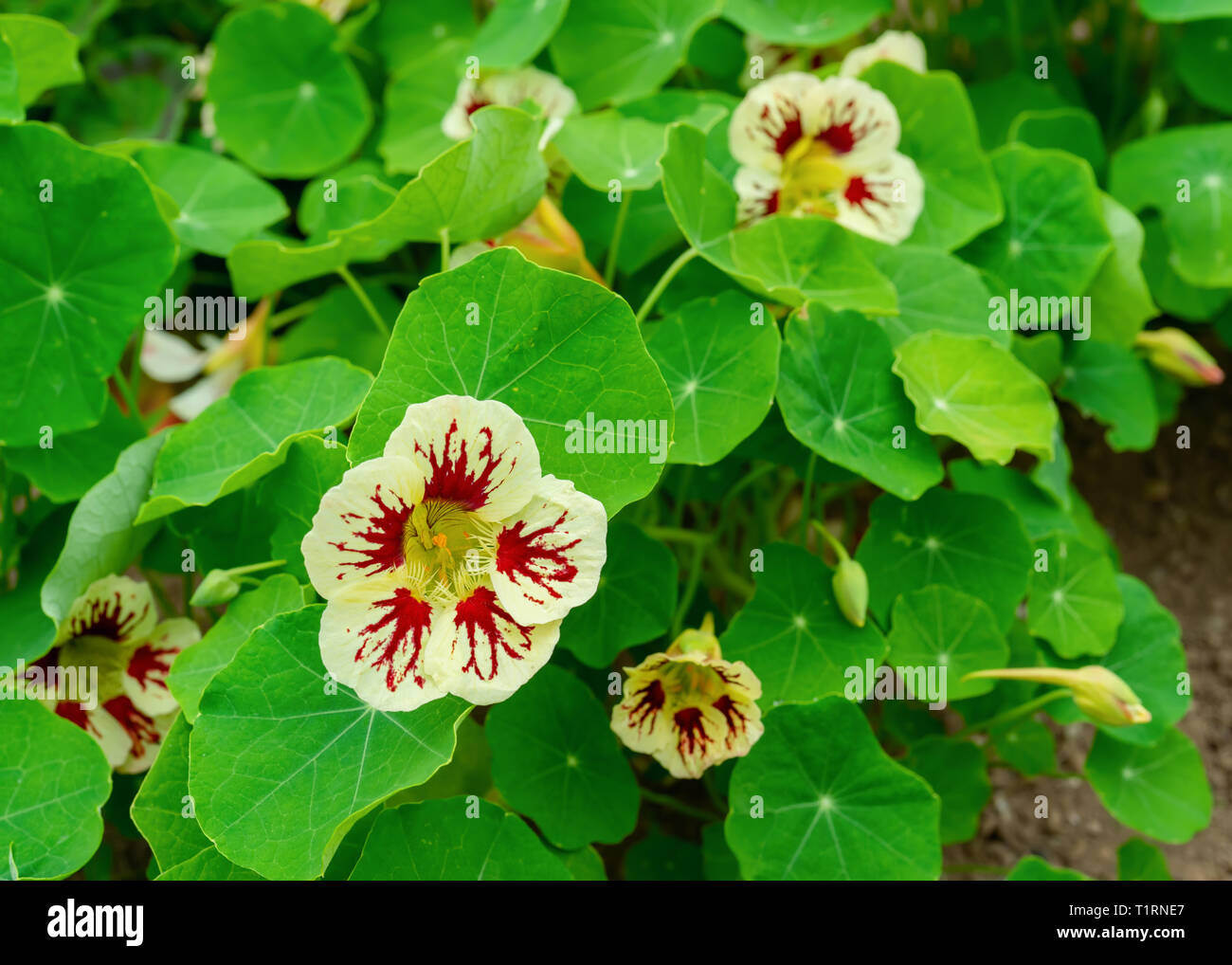 Nasturtium plants in the summer garden. Stock Photo