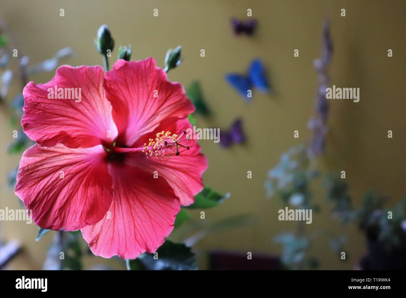 Close-up of hibiscus flower in the home balcony garden/Ahmedabad - Stock Image