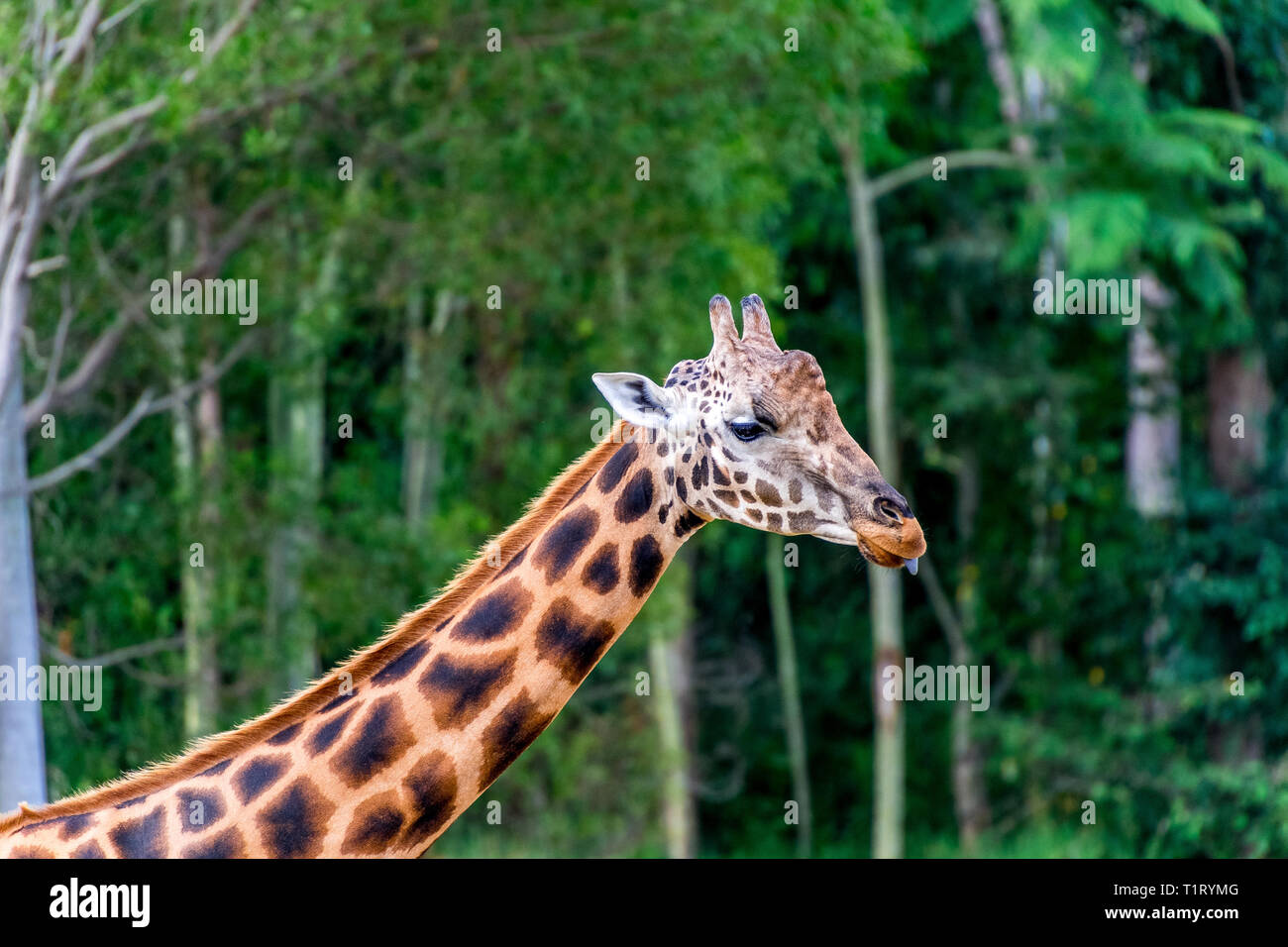 The giraffe (Giraffa) is a genus of African even-toed ungulate mammals, the tallest living terrestrial animals and the largest ruminants. - Stock Image