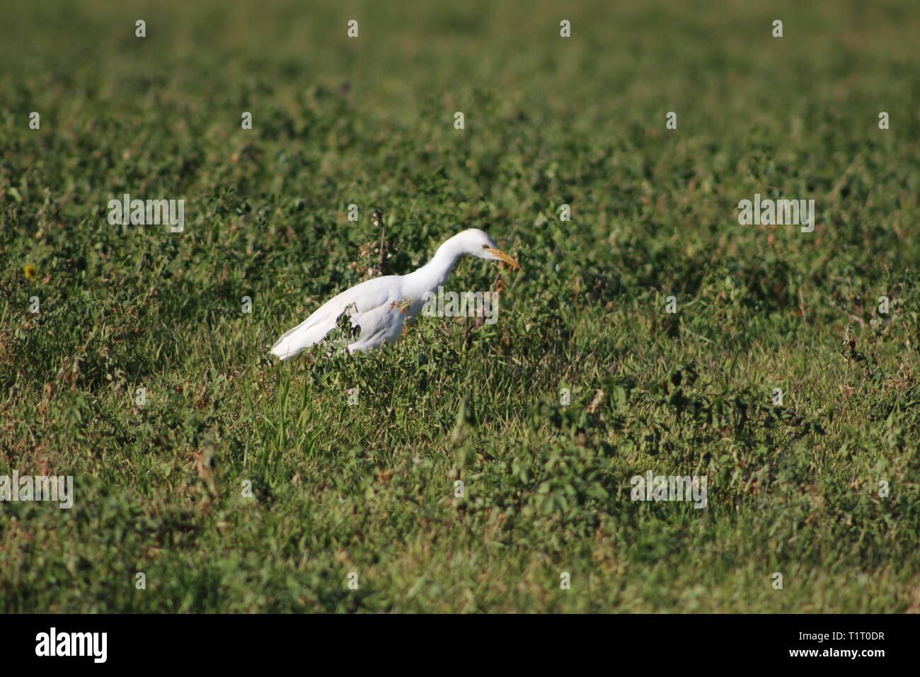 Bubulcus ibis - Stock Image