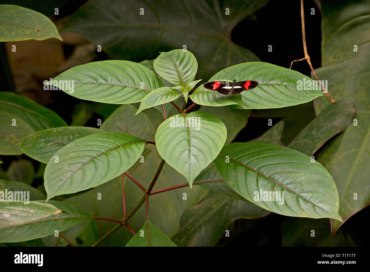 Red postman, red passion flower butterfly (Heliconius erato) on a leaf, Costa Rica - Stock Image