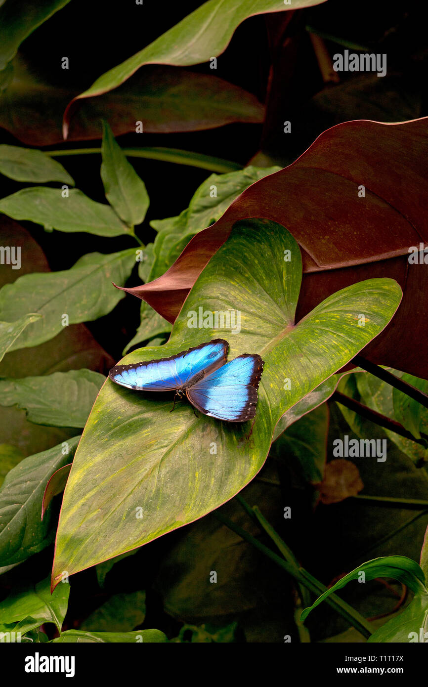 Blue Morpho or Morpho butterfly (Morpho peleides) largest butterfly found in primary forest, Costa Rica - Stock Image