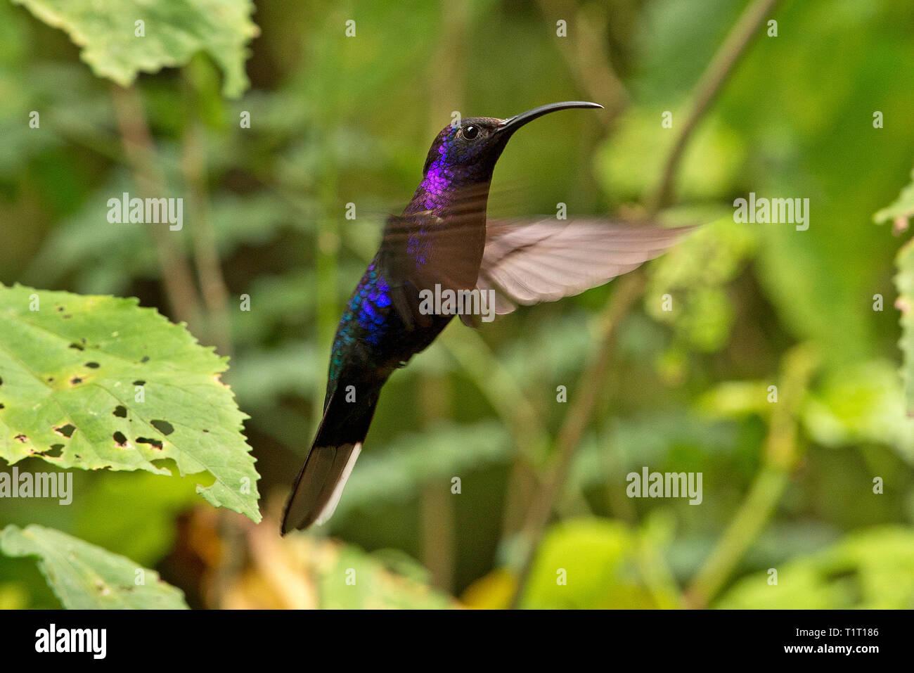 Violet Sabrewing (Campylopterus hemileucurus), hovering flight, Costa Rica Stock Photo