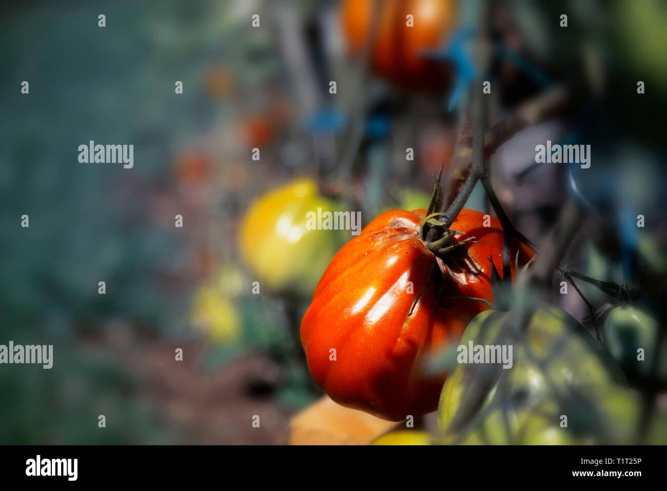 delicious red tomatoe on bush - Stock Image