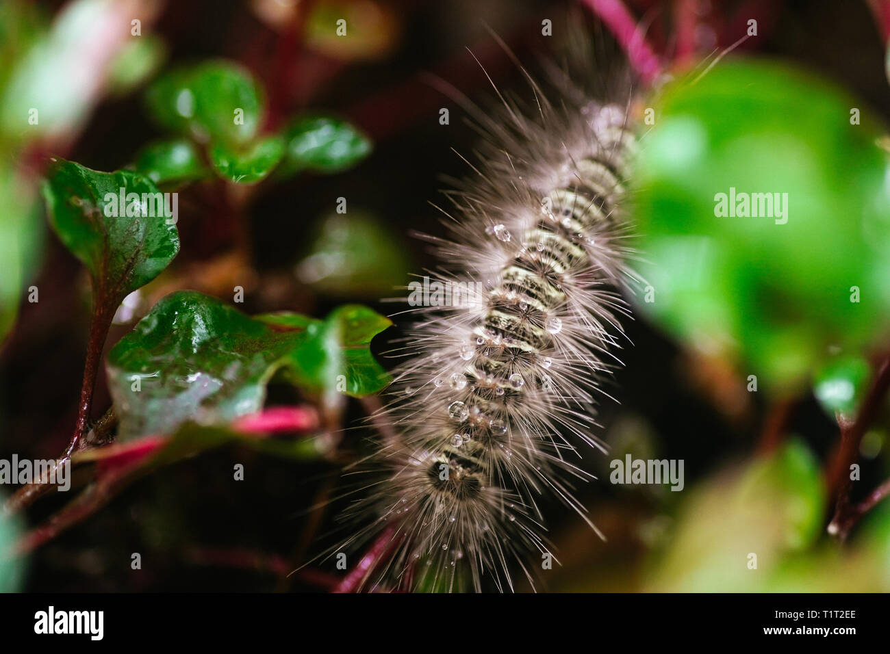 Gypsy moth caterpillar wet after the rain crawling on the leaf Stock Photo