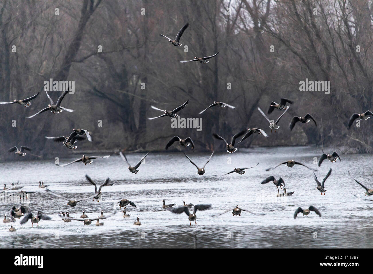 The nature reserve Bislicher Insel, near Xanten on the Lower Rhine, long-tailed geese, Anser albifrons, Germany - Stock Image