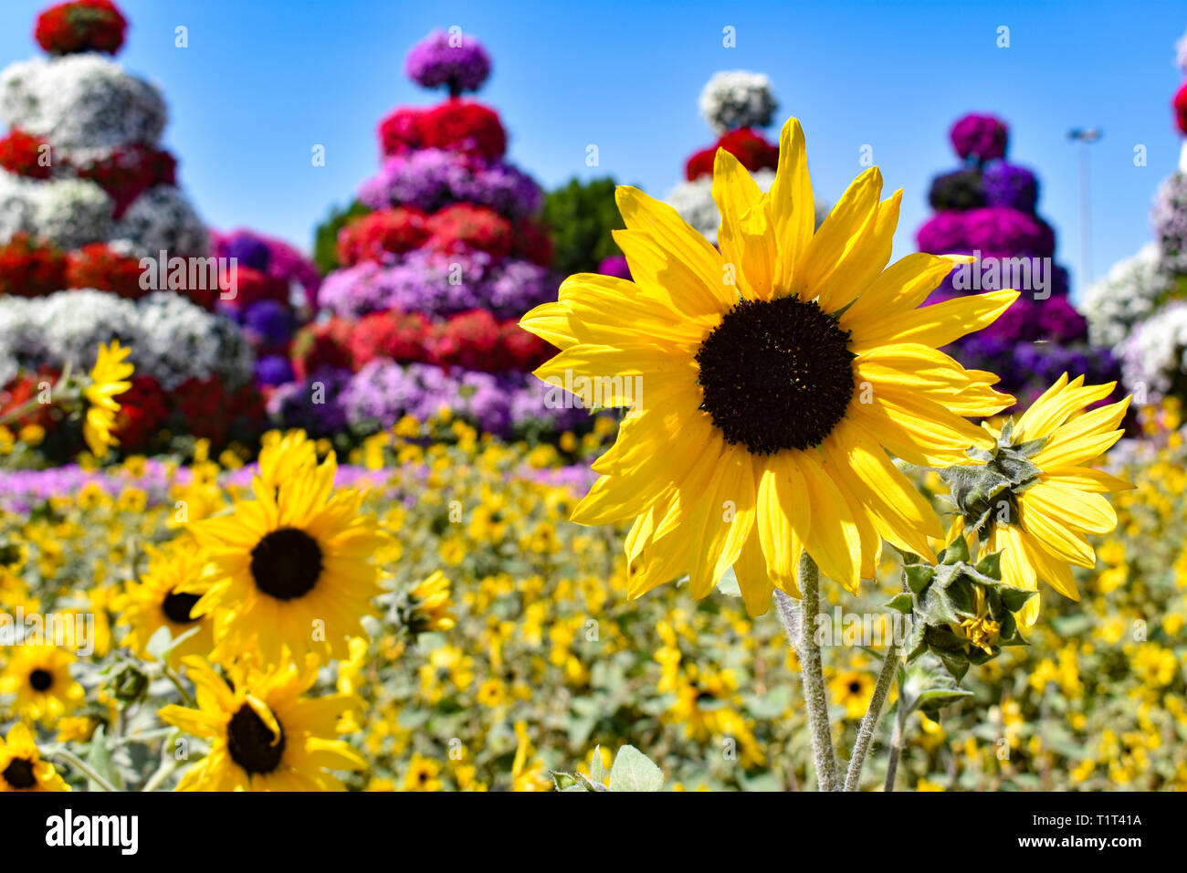 Miracle Sunflower - Stock Image