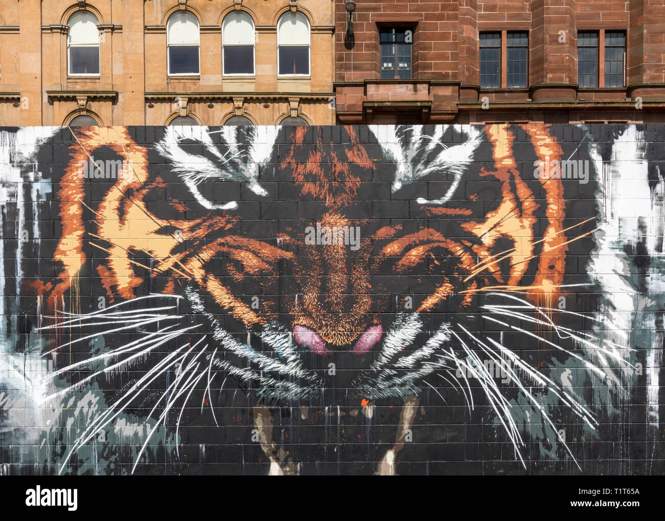 A large wall mural of a snarling tiger with buildings behind it, Glasgow, Scotland - Stock Image
