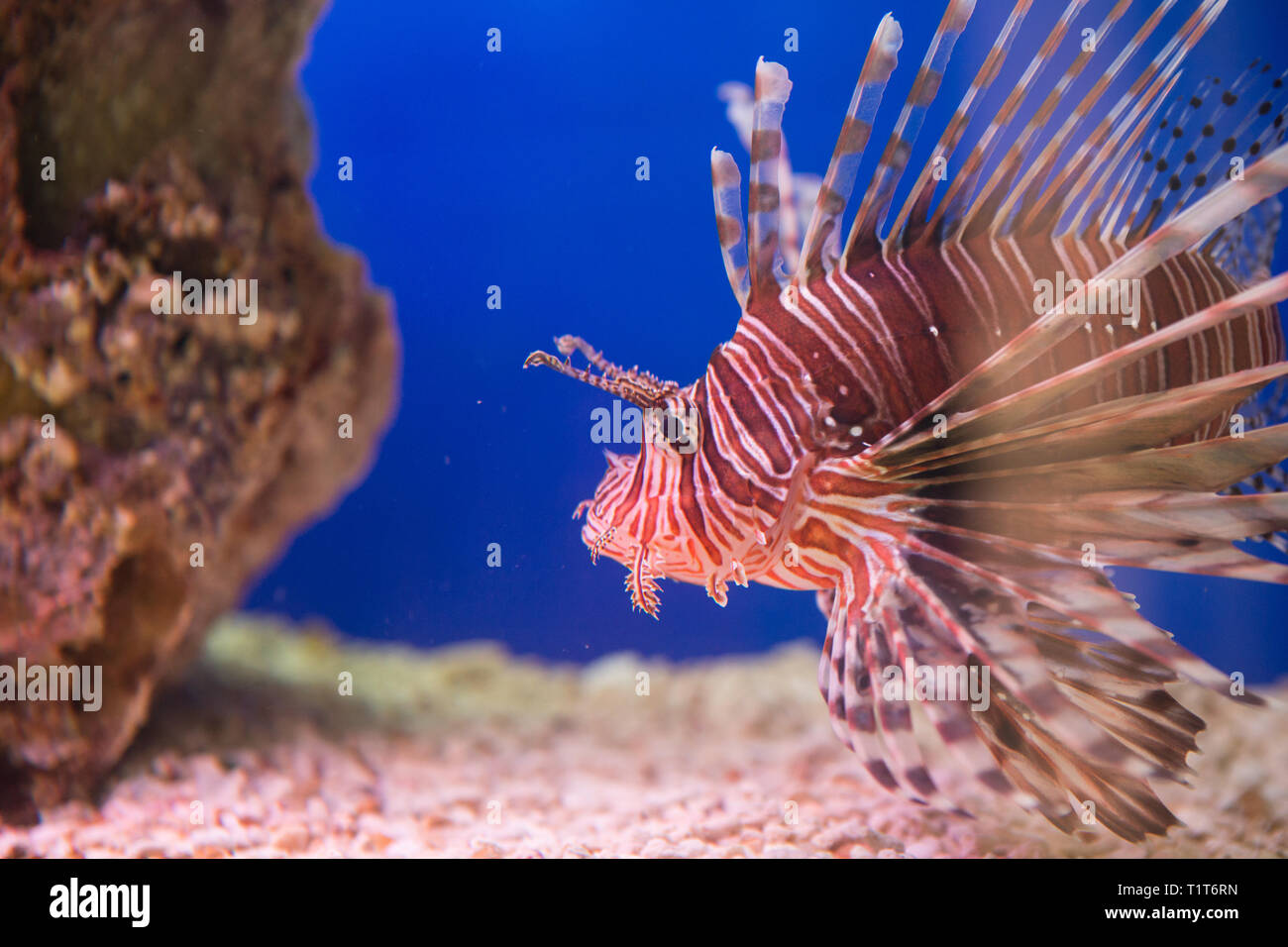 Zebra Fish High Resolution Stock Photography And Images Alamy