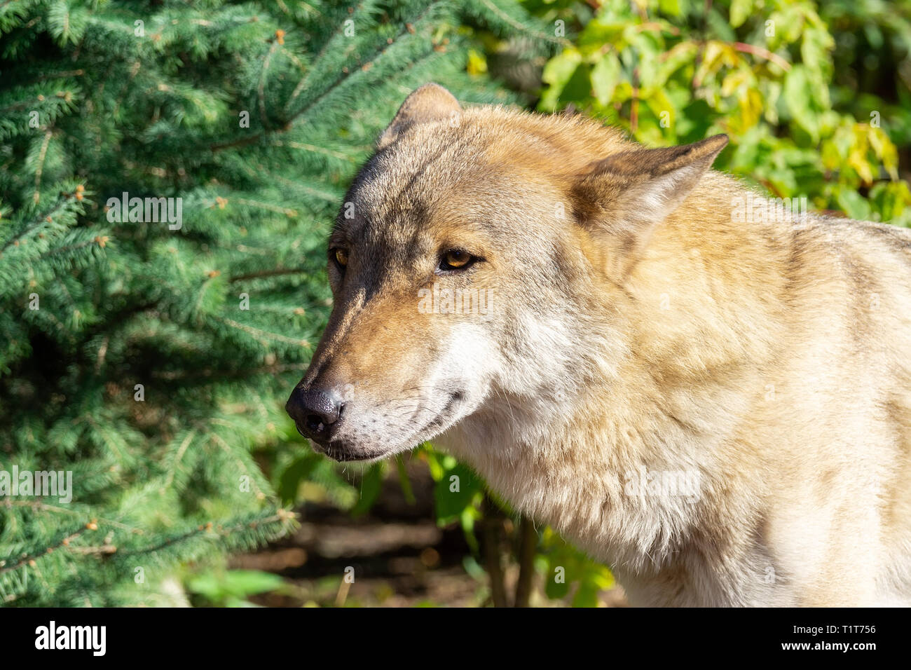 Close up portrait of a grey wolf (Canis Lupus) also known as Timber wolf in the forest in autumn Stock Photo