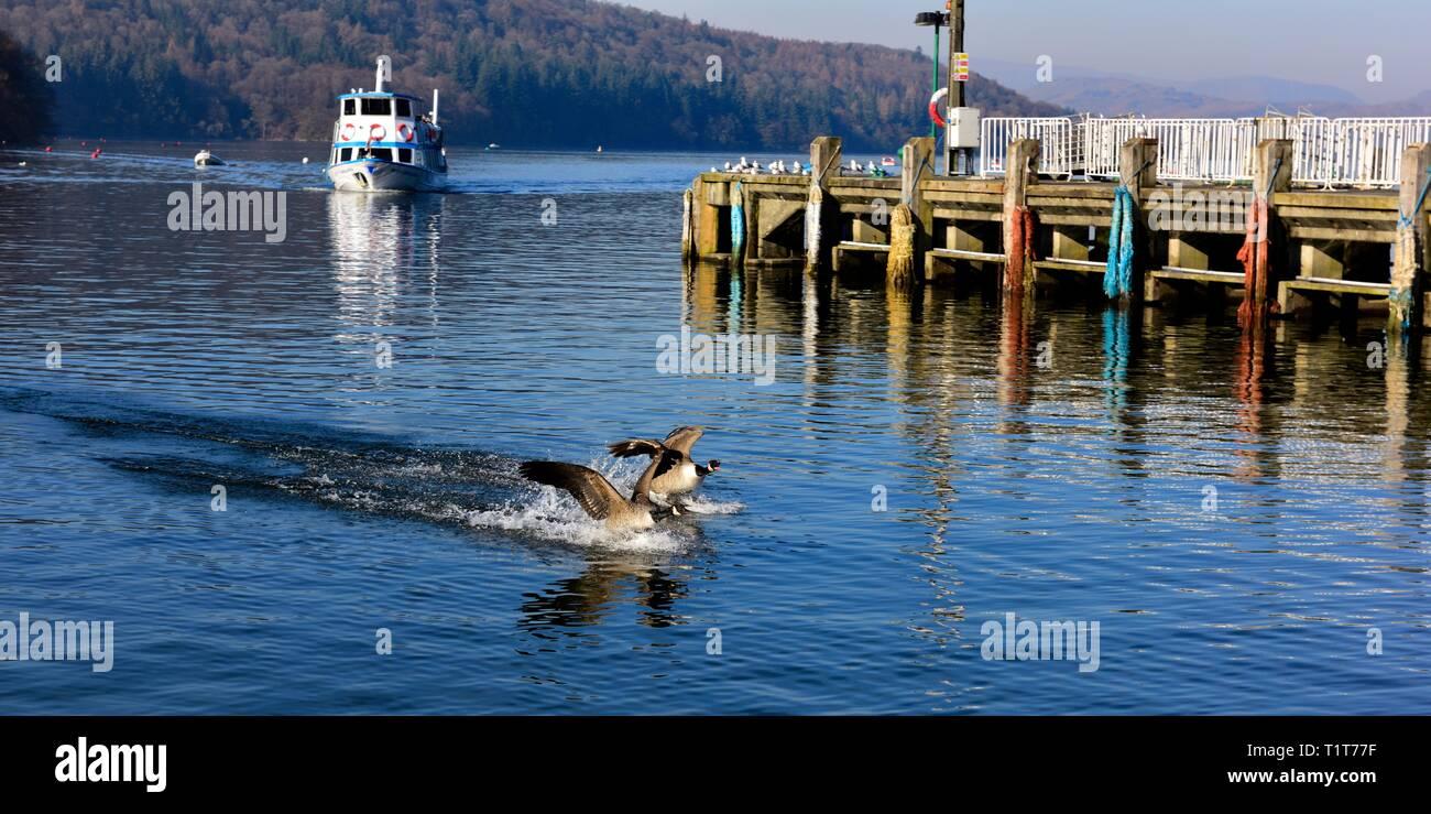Canada goose,Canada geese,Canadian goose,Canadian geese, landing in water - Stock Image