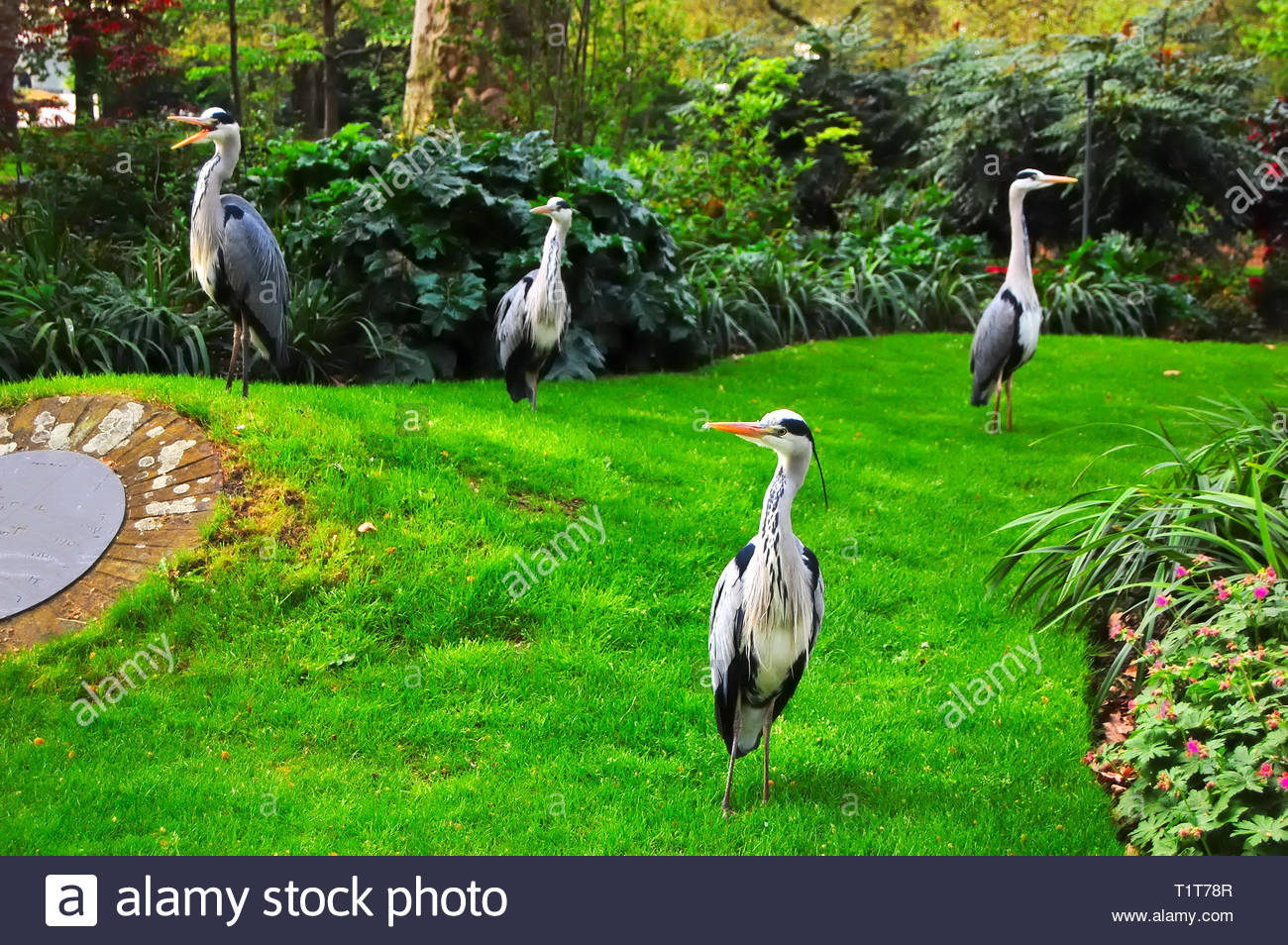 Four Heron look quizically at the photographer. London parks provide habitat for wild bird species. - Stock Image