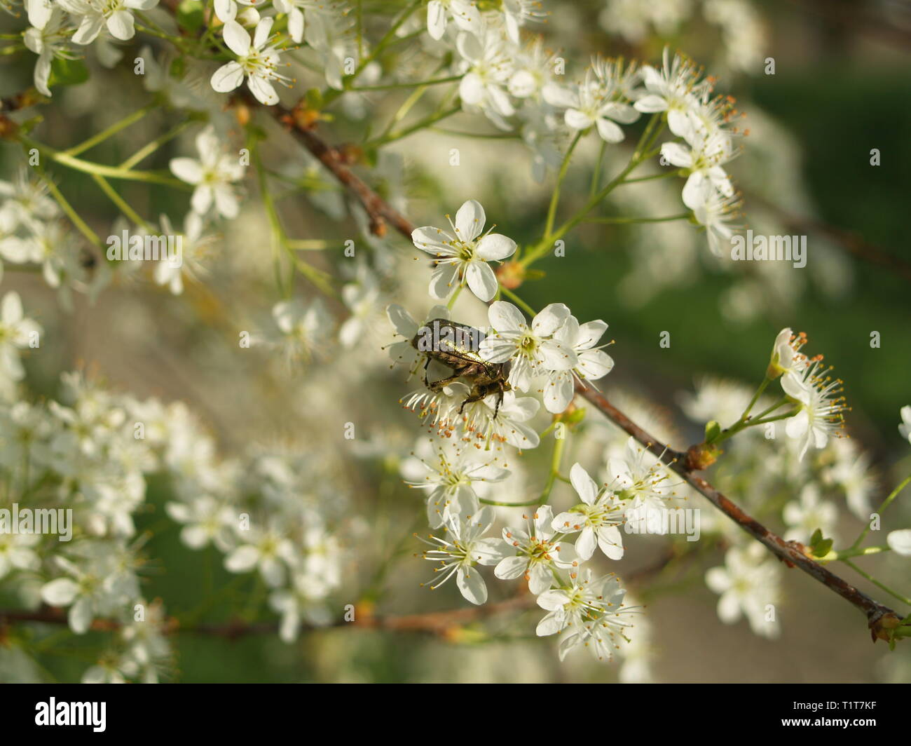 Rose beetle on Spring blossom - Stock Image