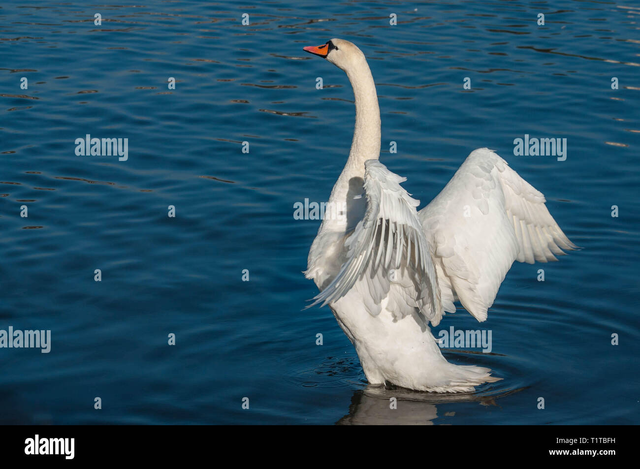 White swan flapping its wings on a river - Stock Image