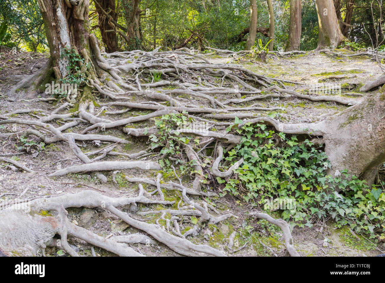 Exposed tree roots from a large tree protruding above ground. - Stock Image