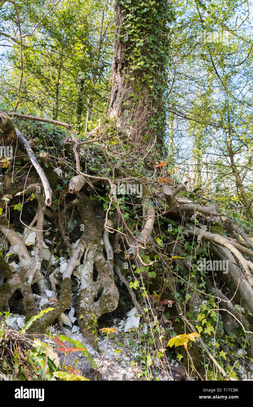 Unearthed tree roots visible underground where the land has eroded. - Stock Image
