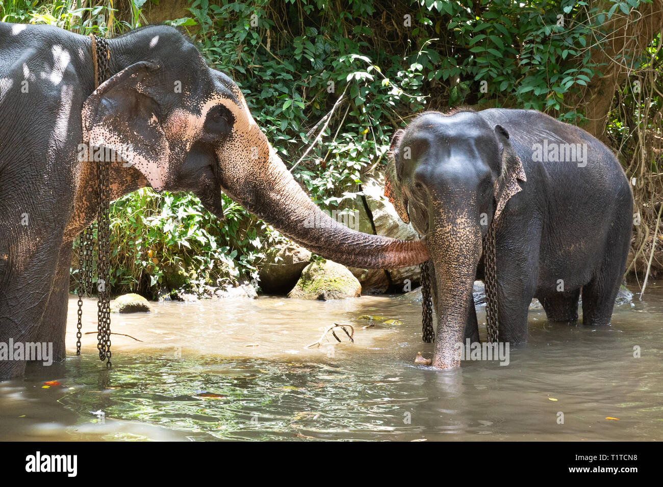 Tourist Asian elephants in captivity, chained, abused for tourist trap. Animal rights, animal abuse, responsible tourism and ethics concept. - Stock Image
