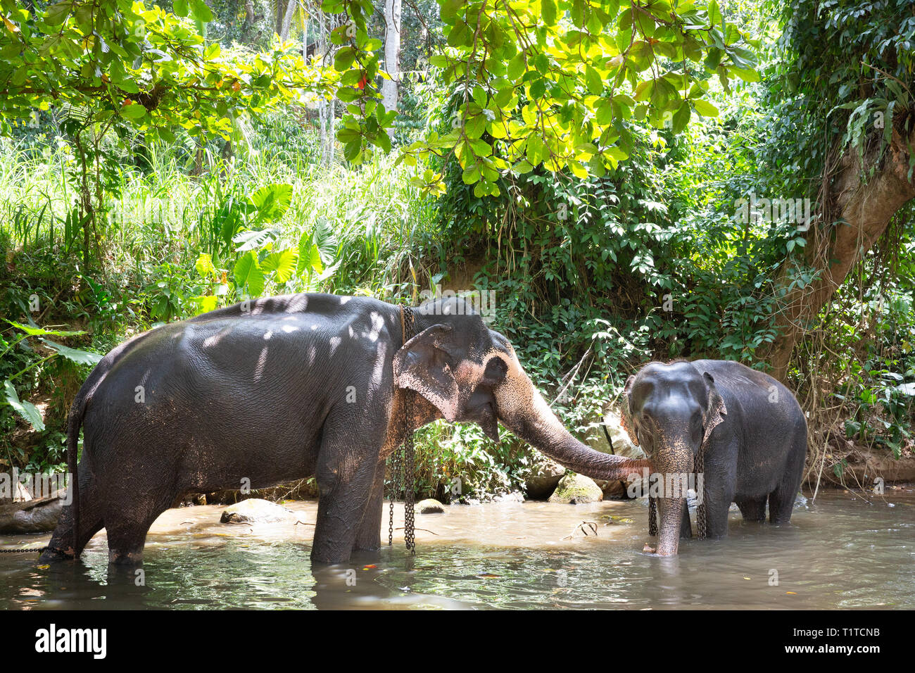 Tourist Asian elephants in captivity, chained, abused for attracting tourists. Animal rights, animal abuse, responsible tourism and ethics concept. - Stock Image