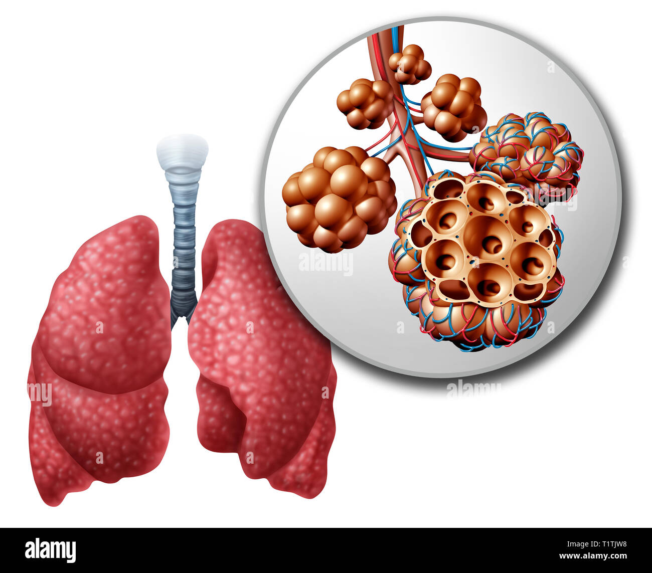 Lung pulmonary alveoli or alveolus anatomy diagram as a medical concept of a close up of the human anatomy and respiratory or respiration medicine. - Stock Image