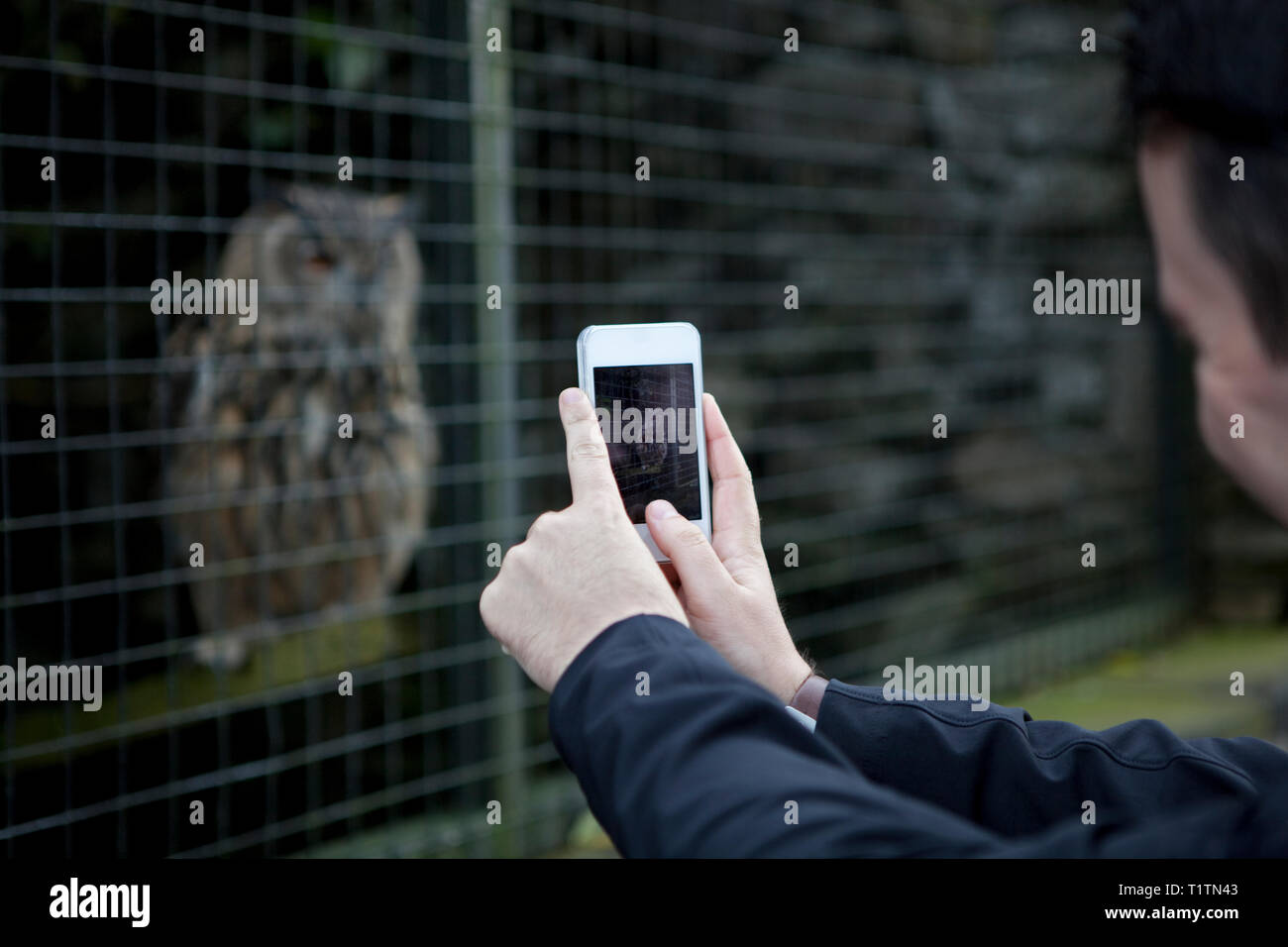 Man taking a photo on a mobile phone of an owl in captivity at a falconry centre - Stock Image